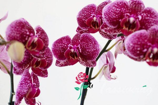 Kedvenc Orchideánk 4