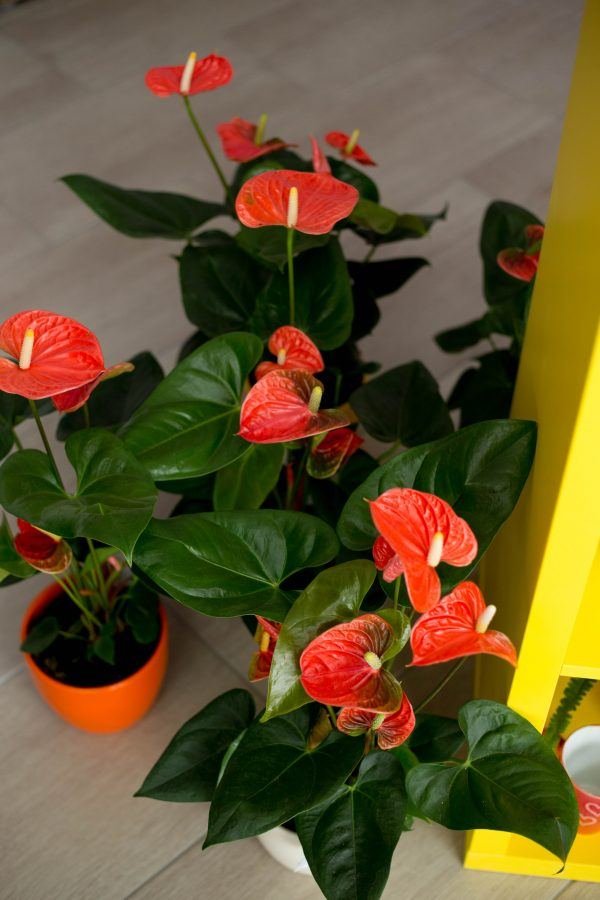 Flamingóvirág 2