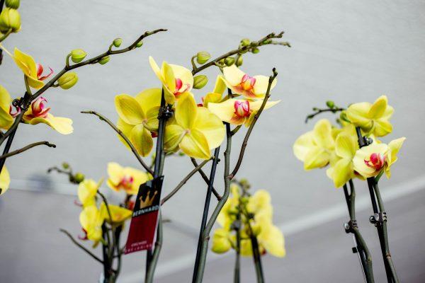 Kedvenc Orchideánk 5