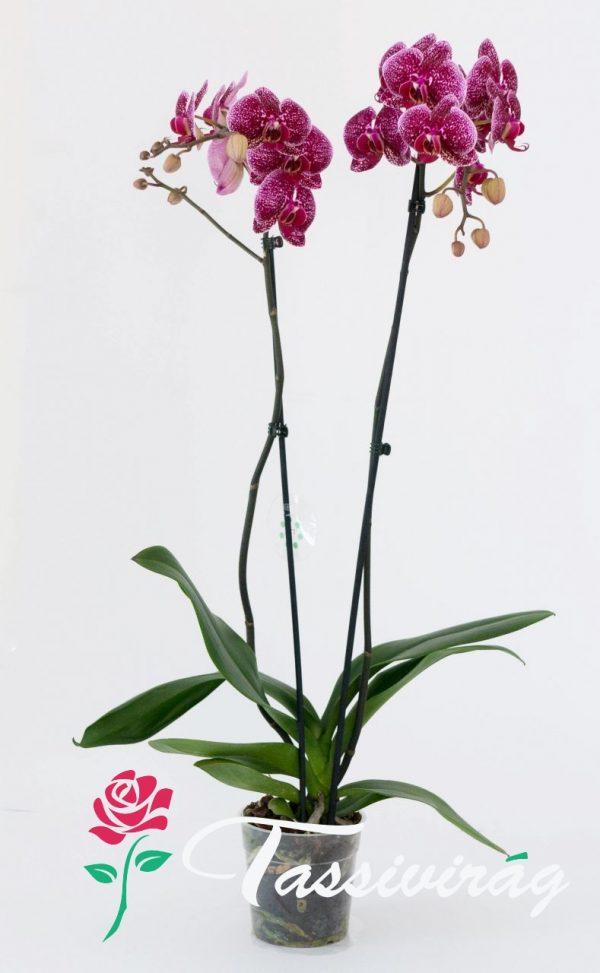 Kedvenc Orchideánk 3