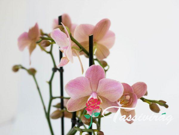 Kedvenc Orchideánk 1