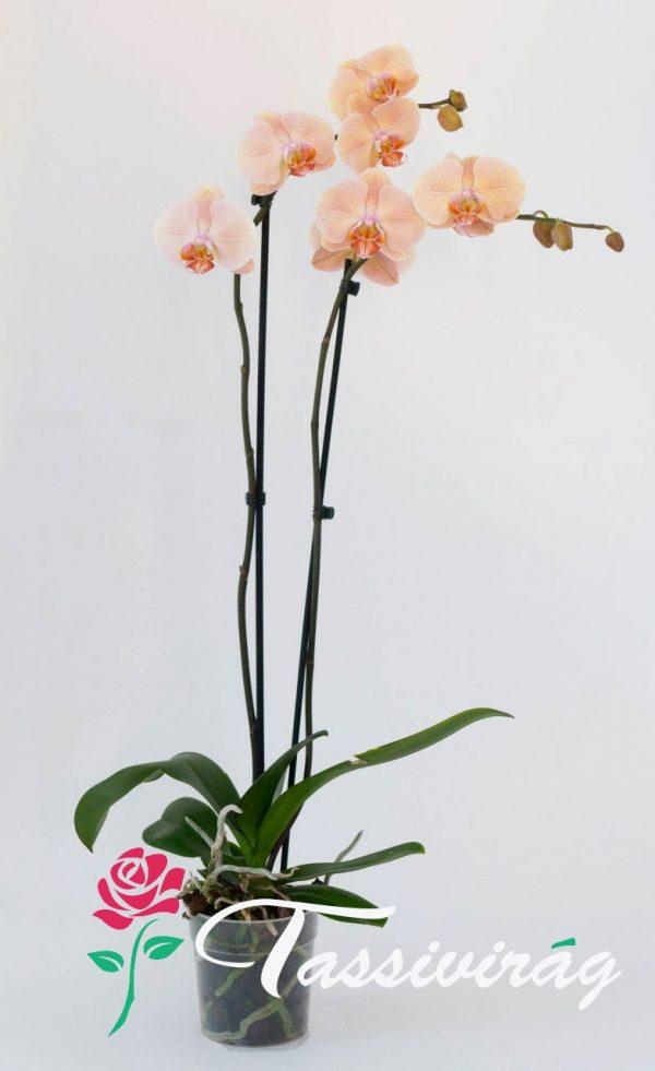 Kedvenc Orchideánk 2