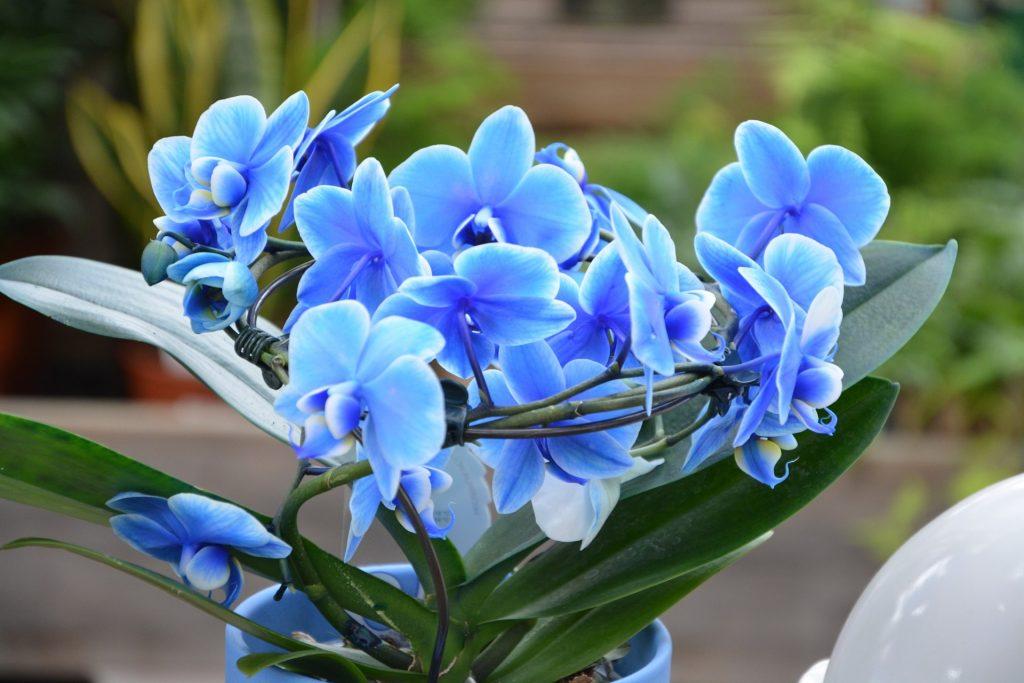Festett orchidea